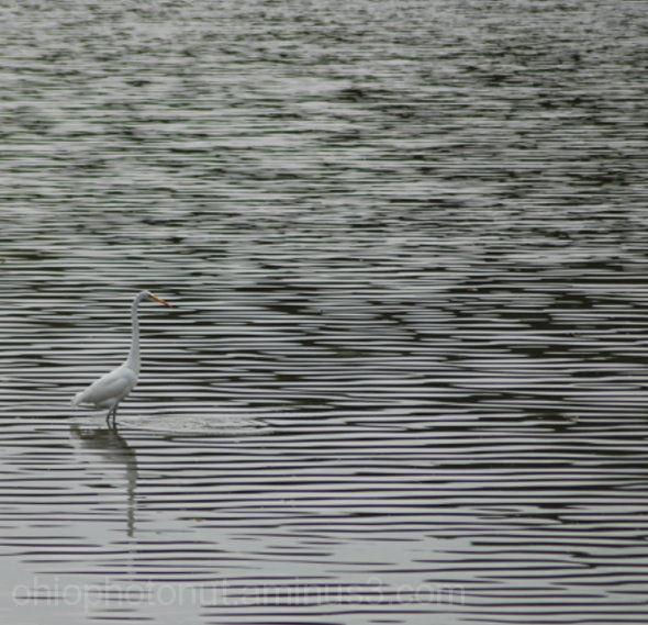 Columbus Audubon Park, Herring, Water Birds
