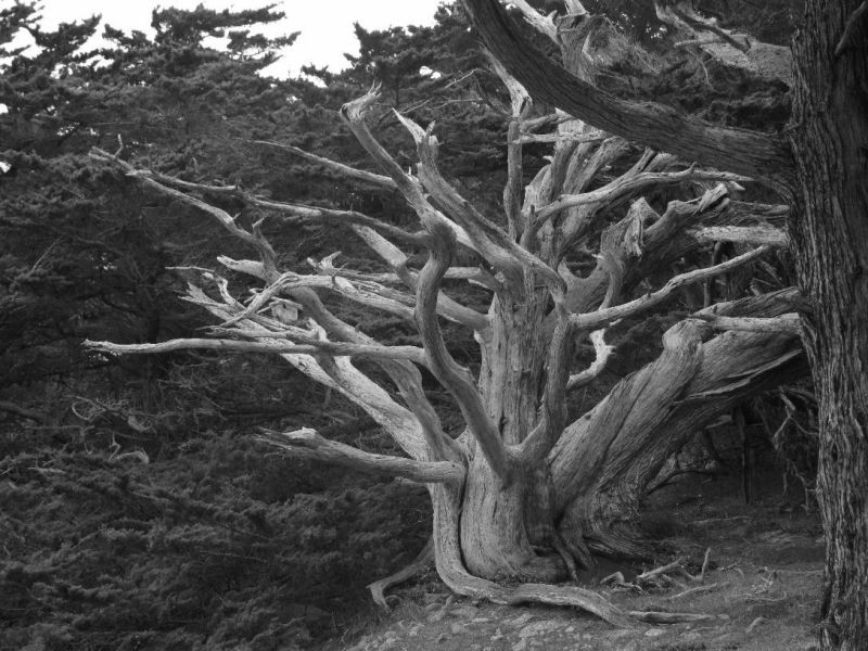 an ancient monterey cypress tree pointlobos