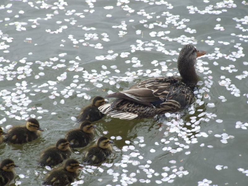 Ducks and Ducklings