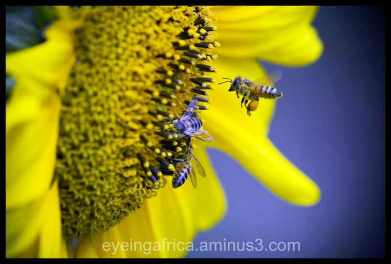 African Killer Bee Invading Sunflower