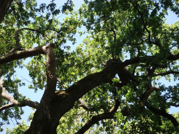 Oak Tree in Chico Park