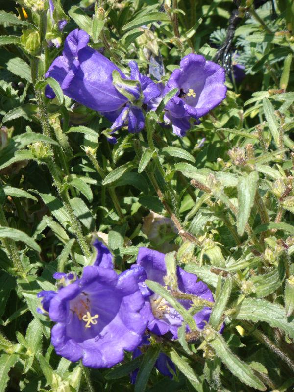 Purples Bells