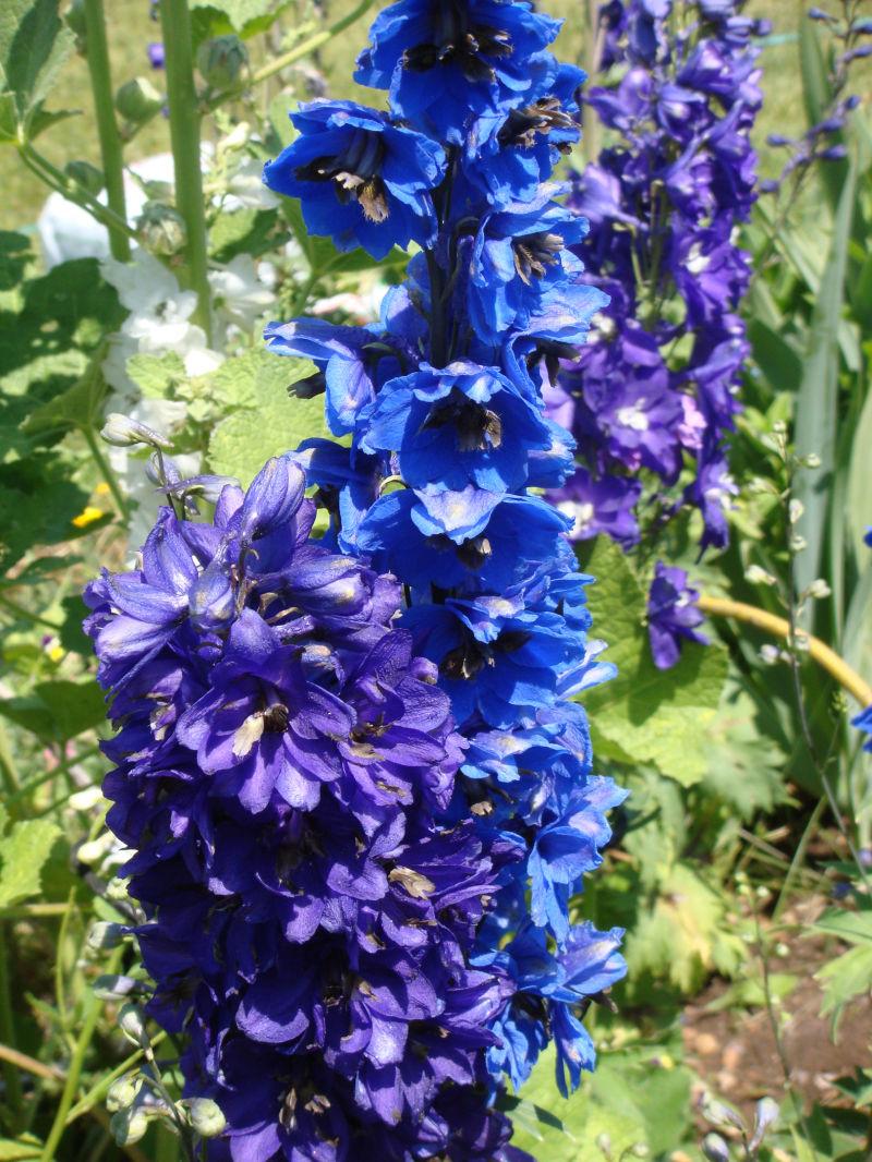 tall purple blue flowers