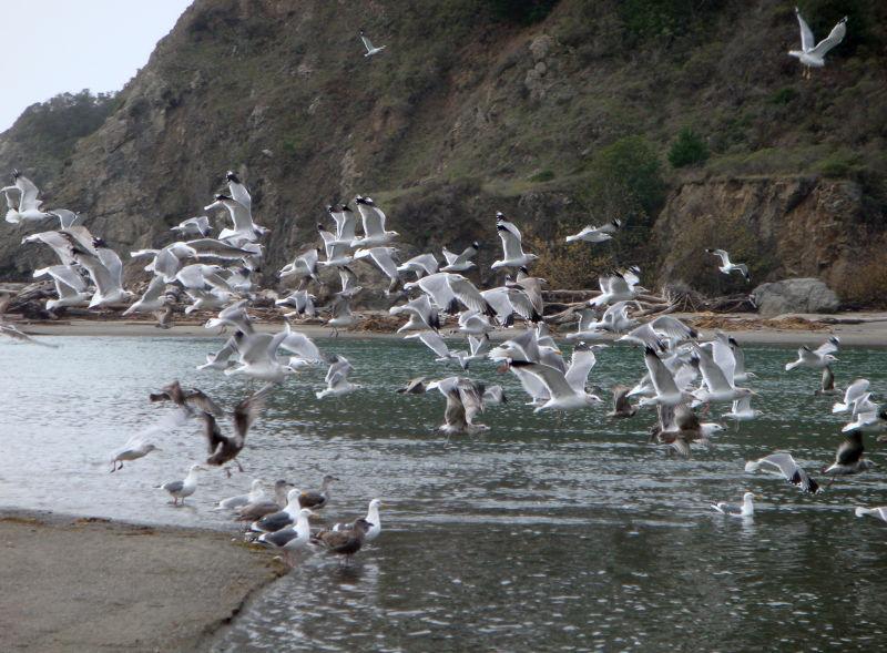Navarro Beach Gulls