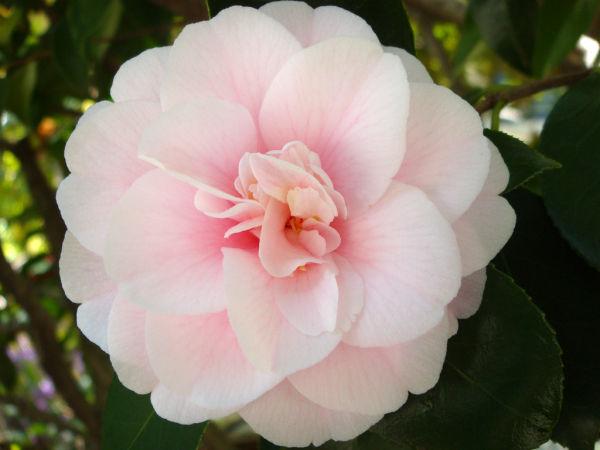 Berkeley Camellia