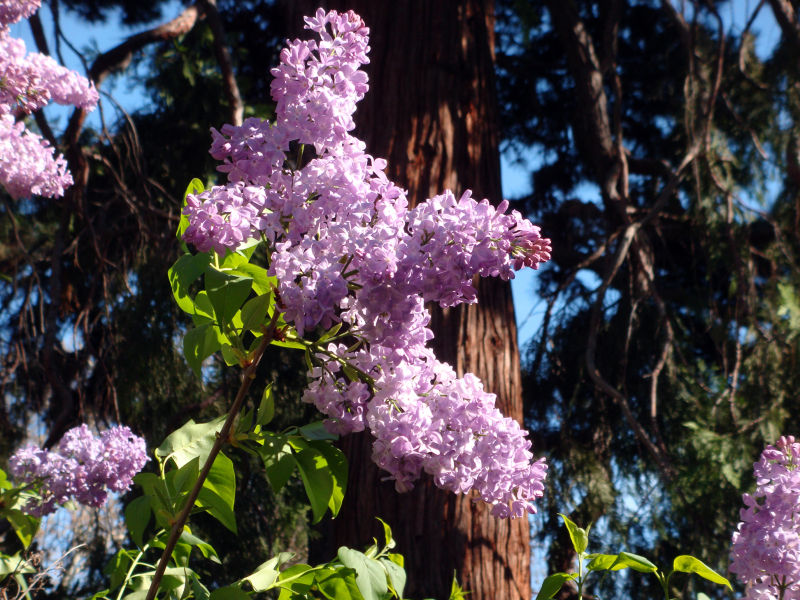 Lilacs in Berkeley
