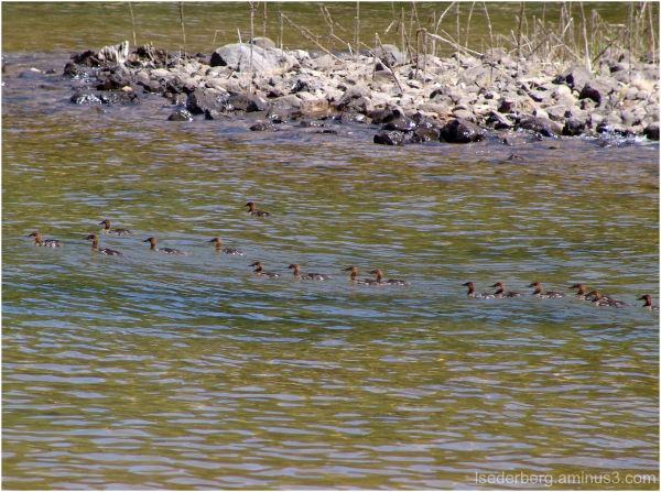Maganzer baby ducks