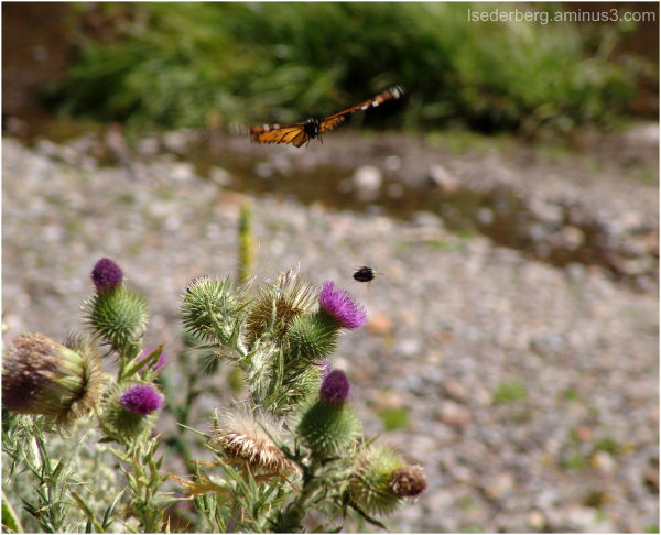 Butterfly and Bee at Warner Creek