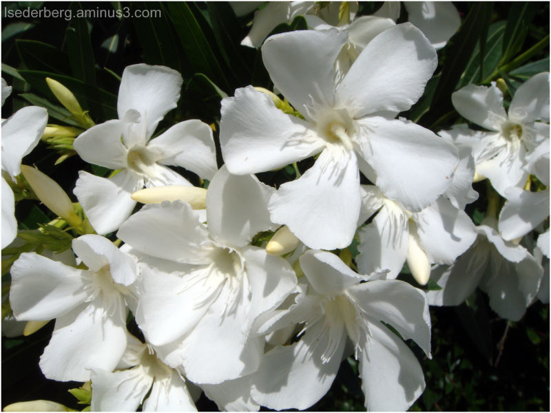 White oleander flowers plant nature photos my glimpse of the world white oleander flowers mightylinksfo