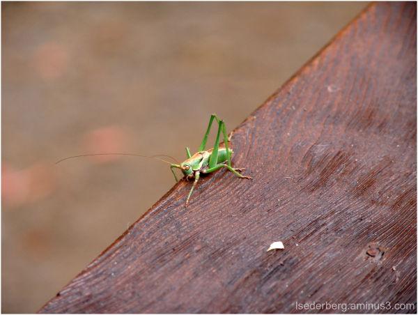 Grasshopper on the deck