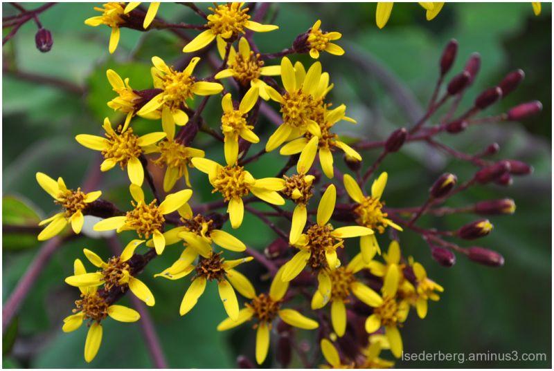 Yellow star flowers