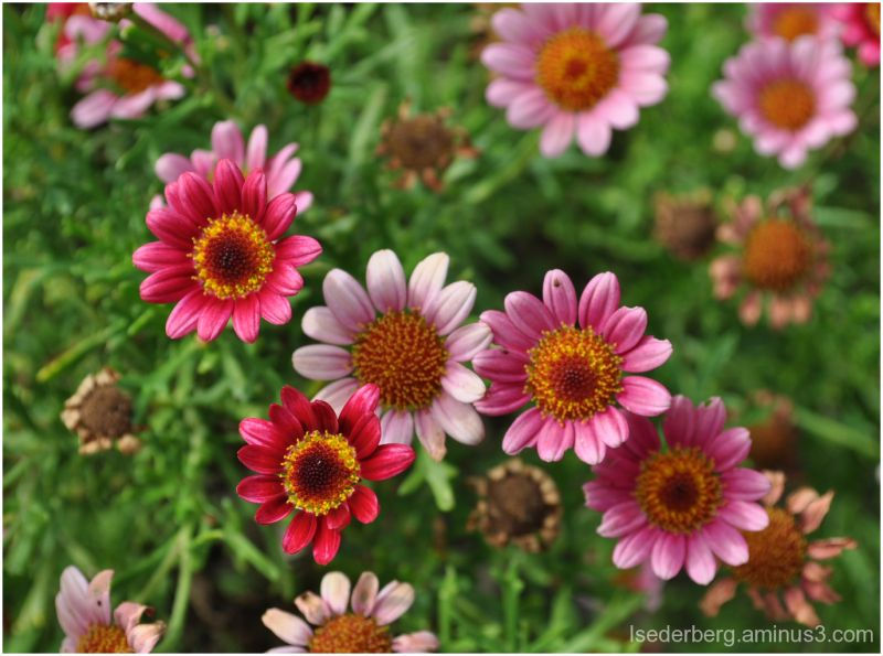 Pink and Red Daisies