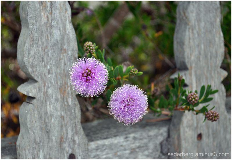Purple Bottlebrush