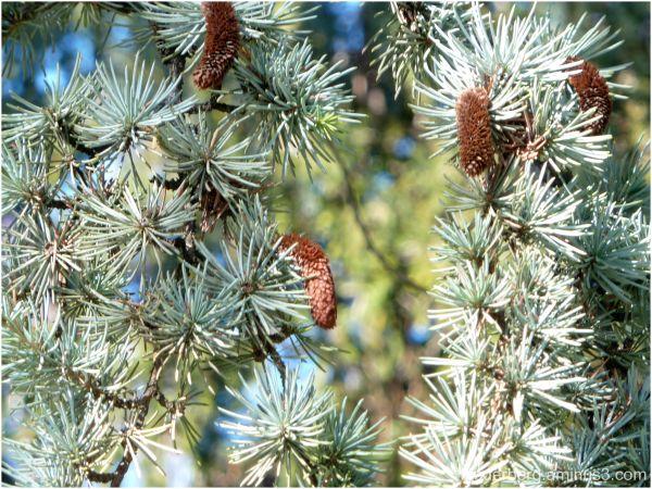 Tree needles
