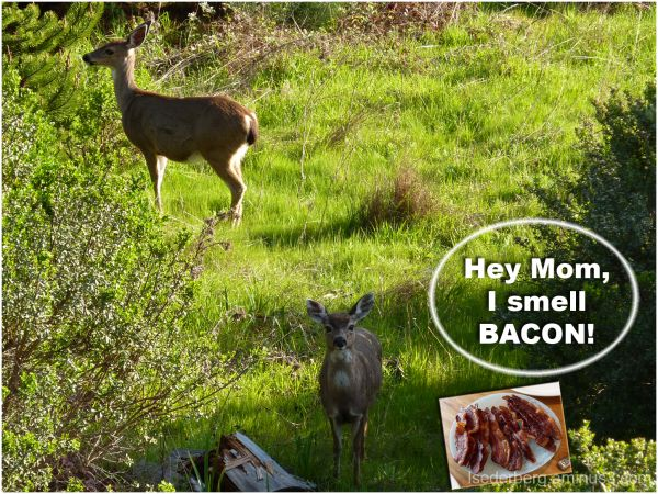Silly Tuesday deer and bacon
