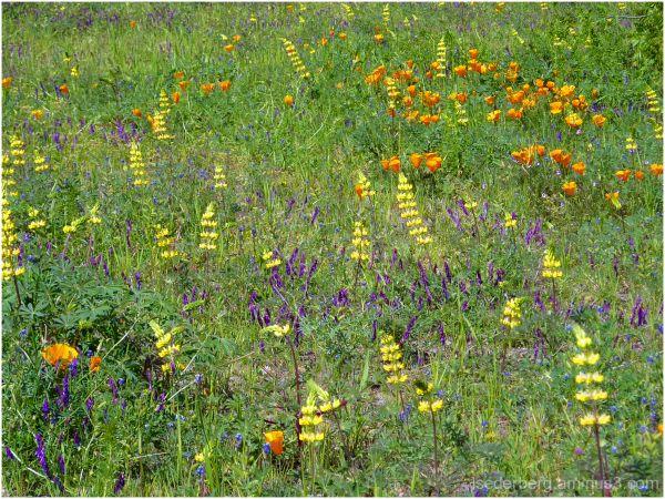 Flowers in Verbena Fields