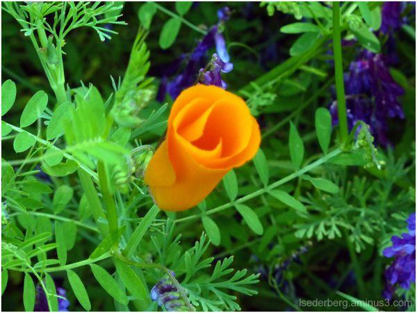 Verbena Poppy