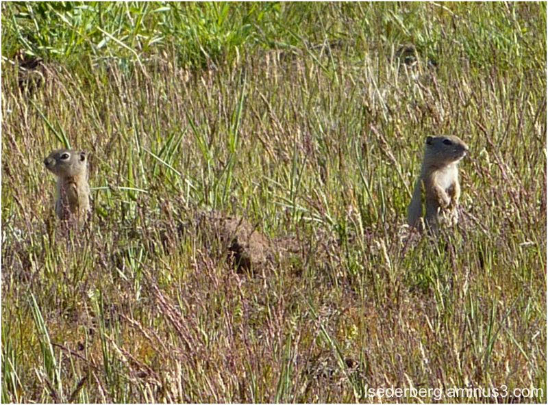 Prairie dogs in Alturas