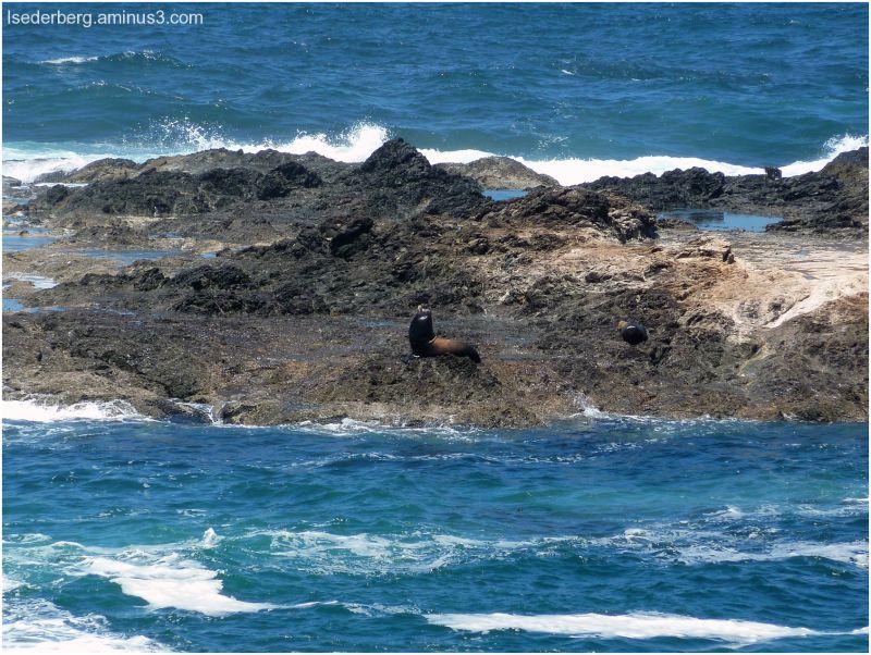 Caspar Sea Lion