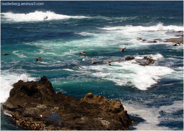 pelicans at caspar