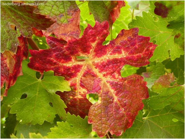 Red leave on grapes