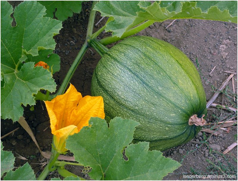 Squash at the vineyard