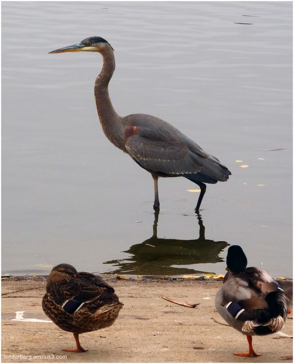 Heron and ducks