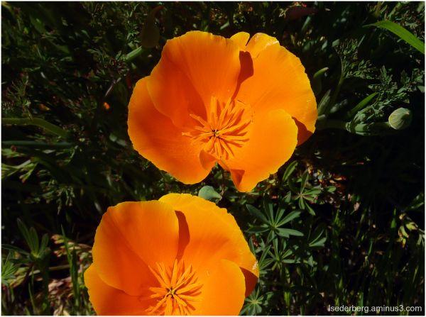 Poppies at Verbena Fields