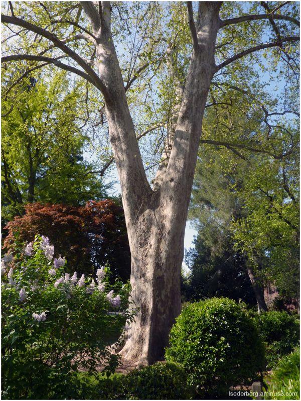 Founders Tree