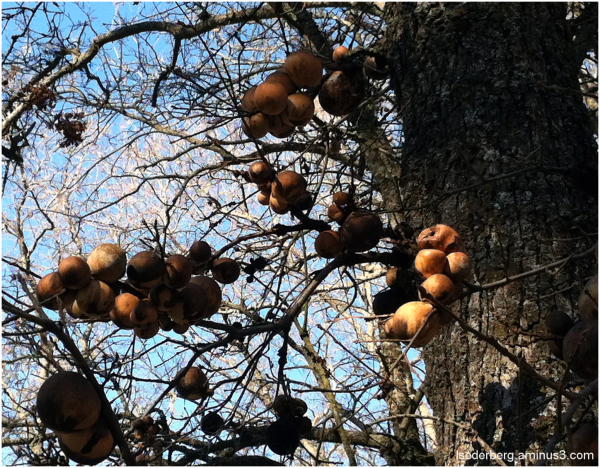 Oak balls