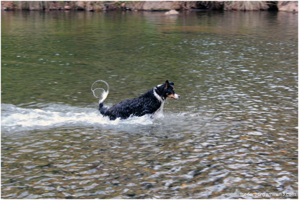 Taffy plays in creek