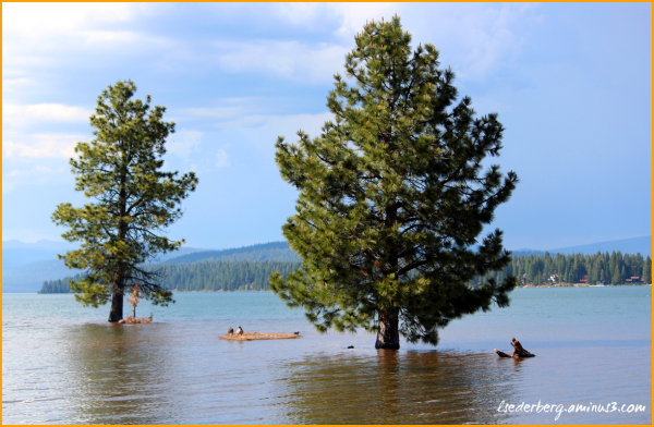 Lake Almanor trees under water