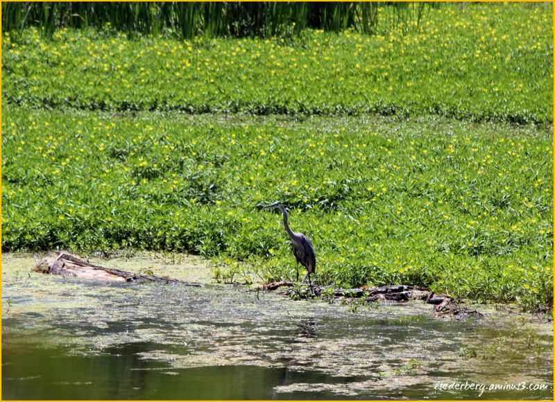 Blue heron at Scotty