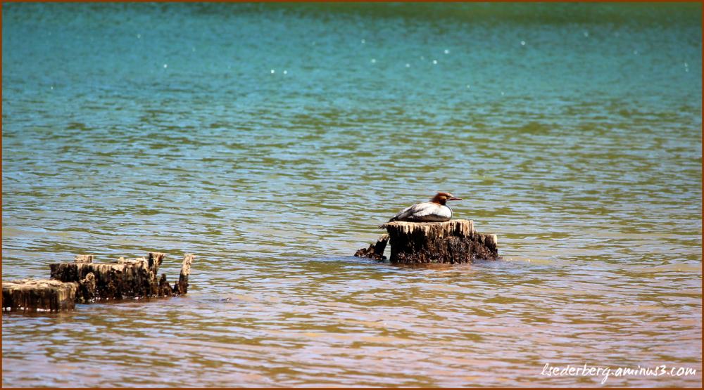 Duck on a stump