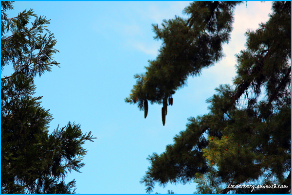 Trees and pinecones