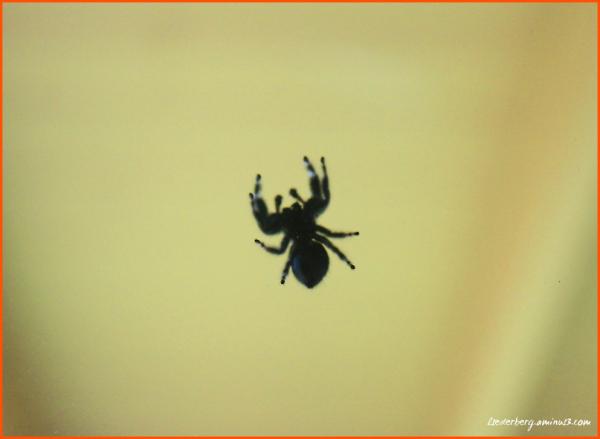 Chico Spider
