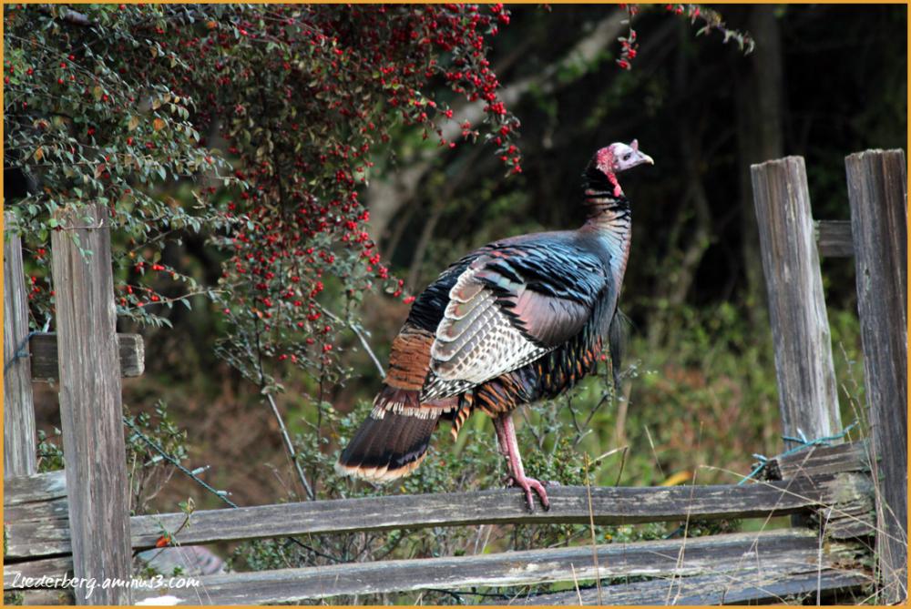 Turkey on a fence