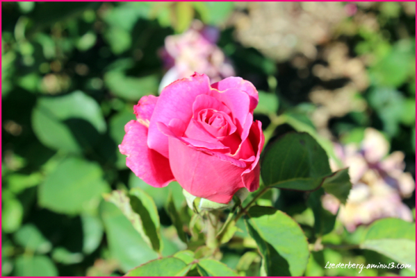 Chico Campus red rose