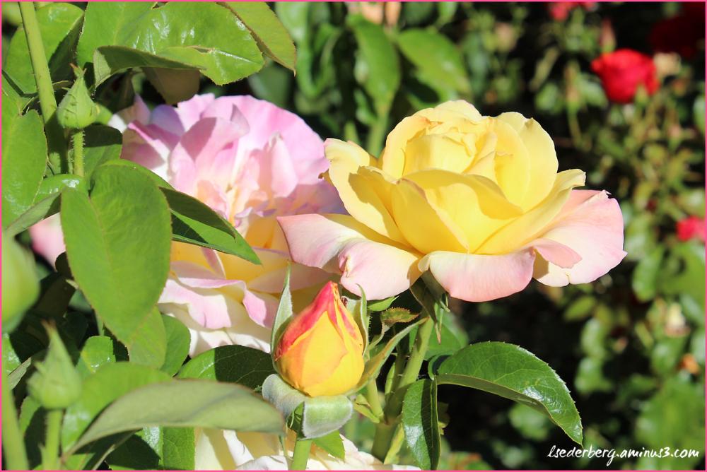 Campus roses