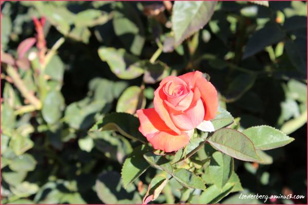 Peach rose on campus