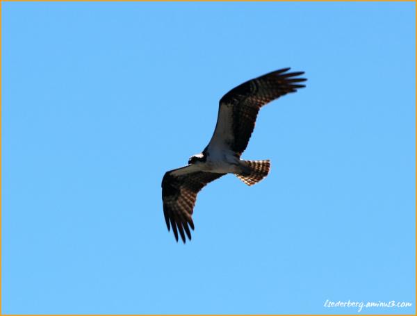 Osprey in the sky