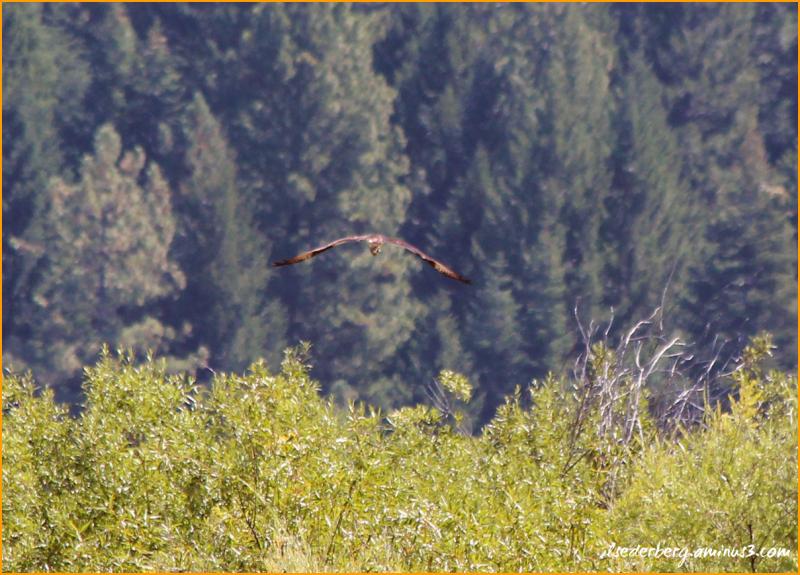 Osprey with fish away