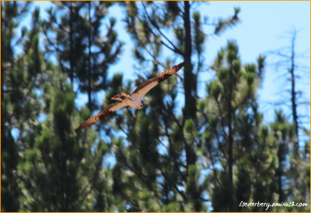 Osprey flying free