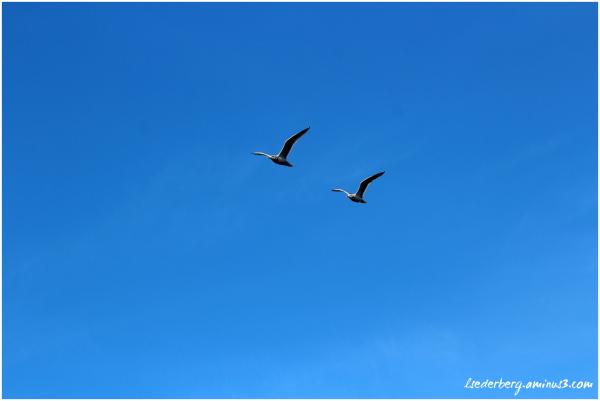 Gulls overhead