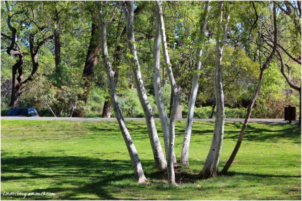 Park sycamores