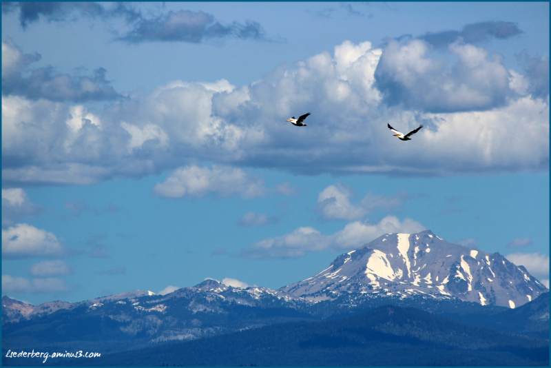 Pelicans over Mt. Lassen