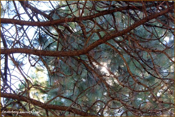 Branches, needles, sky