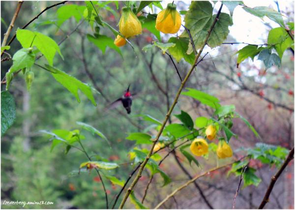 Sky's Hummingbird