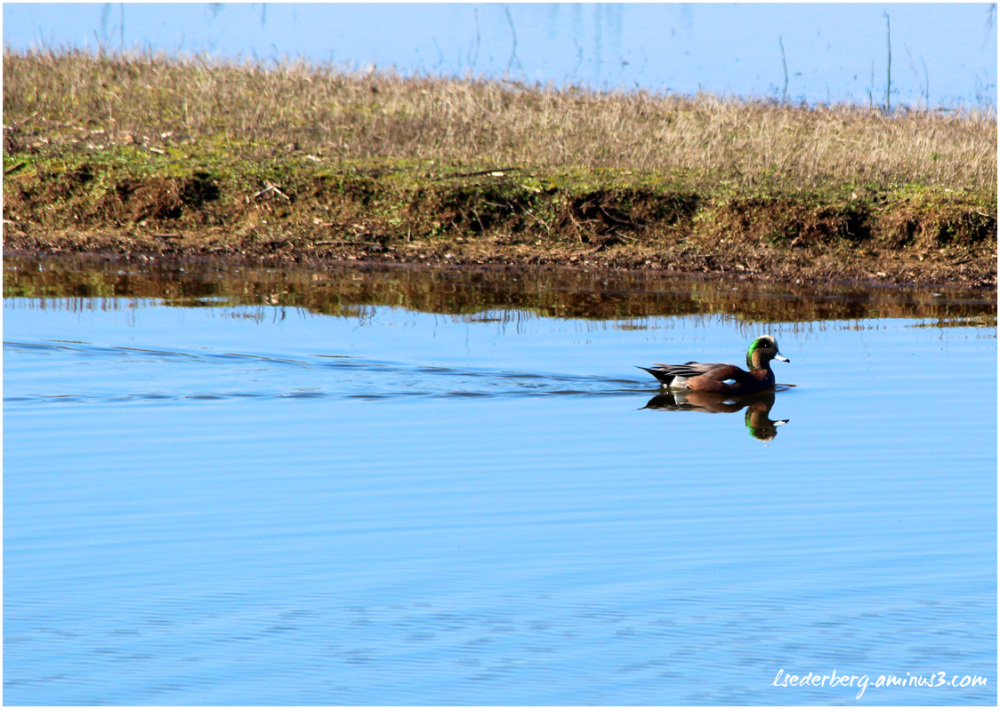 Duck swimming solo