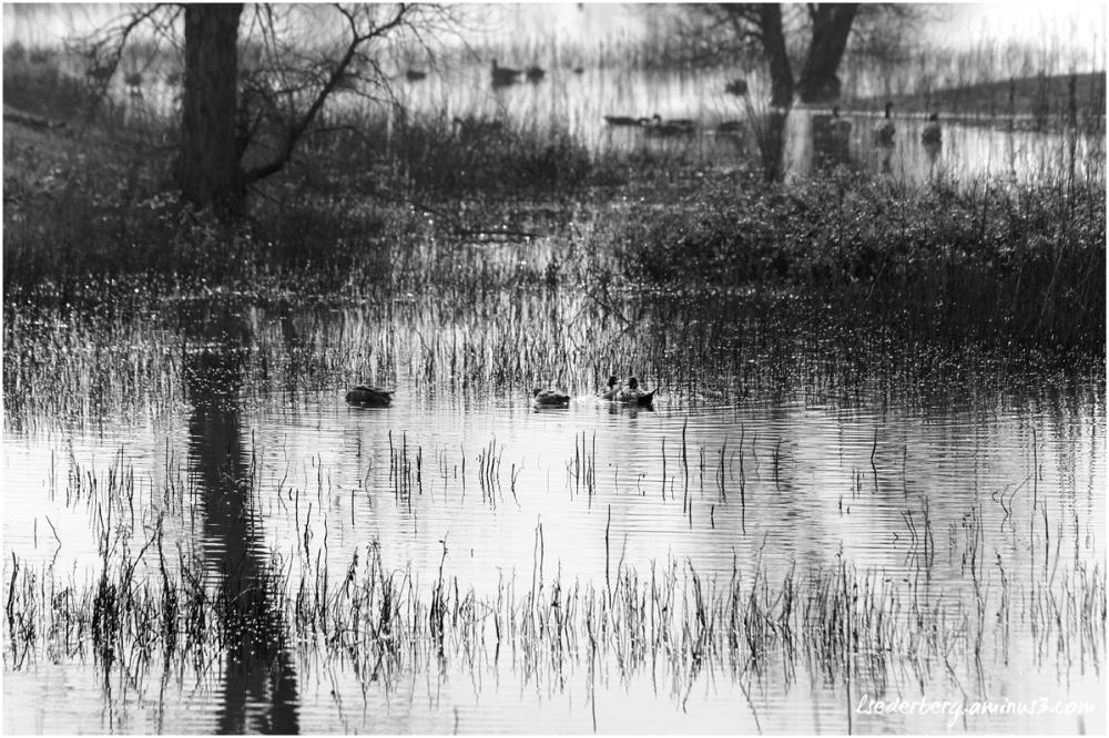 Ducks at Llano Seco